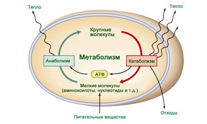 Препарат регулирует процессы метаболизма