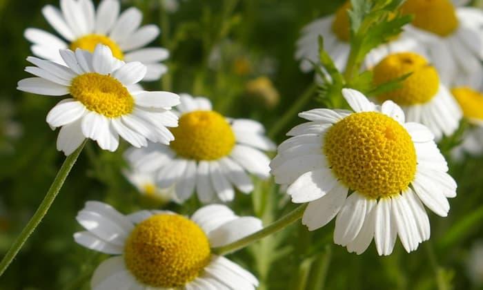 Ромашка универсальное растение, которое снимет сразу несколько симптомов похмелья