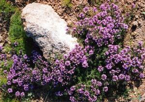 Трава Чабрец