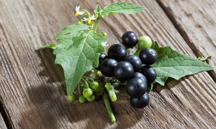 Черный паслен проявляет обезболивающие, спазмолитические, мочегонные, антисептические, смягчающие и восстанавливающие свойства