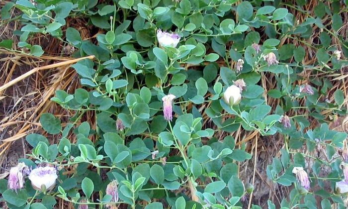 Каперсы травянистые, входящие в состав Лив 52, придают препарату стимулирующие, поддерживающие, восстанавливающие печень свойства