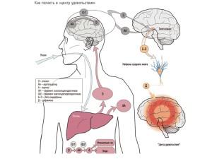 Действие алкоголя на мозг