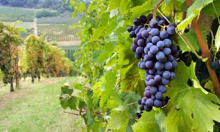 Янтарная кислота содержится в винограде