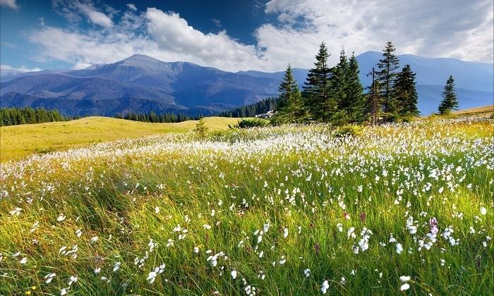 Навозник белый растет группами на почвах, богатых органическими веществами. Например, на лугах