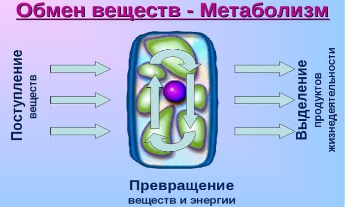 Дринкофф способен ускорять метаболизм
