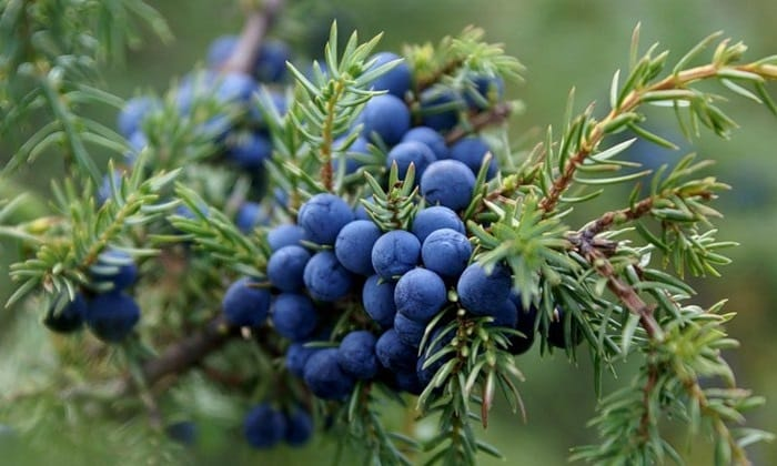 Настой из ягод можжевельника вызывает устойчивое отвращение к алкоголю. Кроме того, он укрепляет организм и выводит токсины